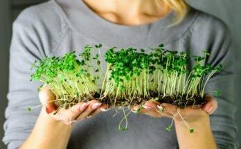 Как выращивать микрозелень в домашних условиях без земли и в грунте: практические советы